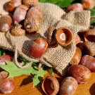 1 LB Natural Real Acorns for Decoration or Craft