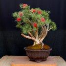 Bonsai Bottlebrush Crimson Red Callistemon citrinus - 50 Seeds
