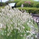 Ornamental White Bunny Tail Grass Lagurus ovatus - 40 Seeds