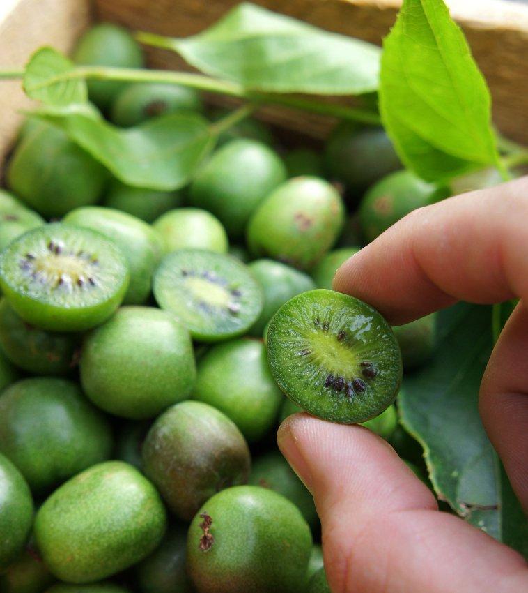 Kiwiberry Cocktail Miniature Kiwi Berry Hardy Actinidia arguta - 30 Seeds