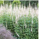 Culvers Root White Spikes Veronicastrum virginicum - 500 Seeds