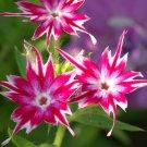 Unusual Phlox Twinkle Star Flowers Phlox drummondii cuspidata - 100 Seeds