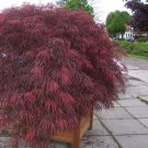 Red Fringed Japanese Maple Acer Palmatum Dissectum - 20 Seeds