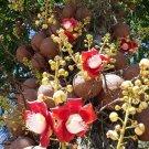 Cannon Ball Tree Couroupita guianensis - 10 Seeds