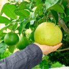 Heirloom Pomelo Fruit Citrus maxima - 1 Rooted Starter Plant