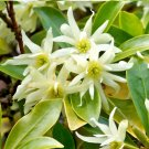 Star Anise Herb Illicium verum - 15 Seeds
