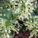 Cuttings! Fragrant Night-Blooming White Jasmine Cestrum nocturnum - 3 Unrooted Cuttings