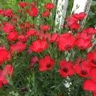 Stunning Scarlet Red Flax Linum Grandiflorum Rubrum - 250 Seeds