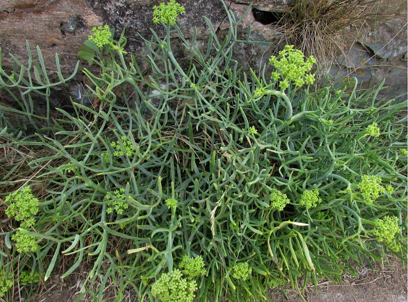 Rare Rock Samphire Sea Fennel Crithmum maritimum - 30 Seeds
