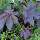 Castor Oil Plant New Zealand Purple Ricinus - 5 Seeds