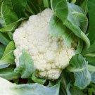 Organic Cauliflower Snowball Brassica oleracea - 80 Seeds