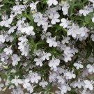 Lobelia Snow White Lobelia Erinus - 200 Seeds