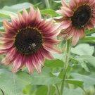 ProCut Plum Rose Pink Sunflower Helianthus annuus - 20 Seeds
