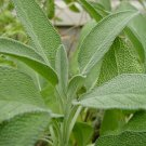 Organic Herb Culinary Sage Salvia officinalis - 20 Seeds