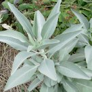 US Native Sacred White Sage Organic  Salvia apiana – 30 Seeds