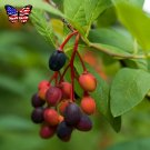 Wild Hardy Osoberry US Native Indian Plum Oemleria cerasiformis – 20 Seeds