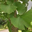Medicinal Ginkgo Fossil Tree Maidenhair Gingko Biloba - 1 Live Plant