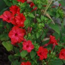 Sale! Crimson Red Marvel of Peru Mirabilis jalapa 2 for 1 -  30 Seeds