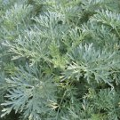 Wormwood Herb Organic Artemisia absinthium - 50 Seeds