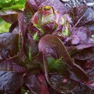 Organic Red Romaine Lettuce Lactuca sativa - 500 Seeds