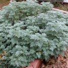 Organic Herb Wormwood Artemisia absinthium - 100 Seeds