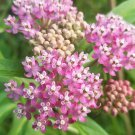 Sale! Pink Rose Butterfly Milkweed Asclepias Incarnata - 2 for 1 - 30 Seeds
