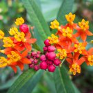 Sale! Scarlet Bloodflower Mexican Butterfly Milkweed Asclepias curassavica - 2 for 1 - 30 Seeds