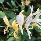 Sweet Tea Honeysuckle Lonicera japonica - 25 Seeds