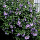 Blue Rose of Sharon Purple Hardy Hibiscus syriacus - 15 Seeds