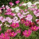 Organic Cosmos Sensation Pinks Cosmos bipinnatus - 200 Seeds