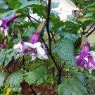 Datura Metel Black Currant Swirl Double Triple Purple - 10 Seeds