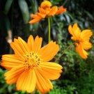 Wild Orange Cosmos Flowers Cosmos sulphureus - 200 Seeds