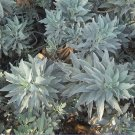 Sacred White Smudging Sage Organic Salvia apiana - 50 Seeds