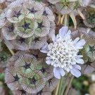 Pompon Starflower Pincushion Scabiosa stellata - 50 Seeds
