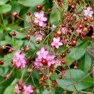 Fame Flower Jewels of Opar Talinum paniculatum - 30 Seeds