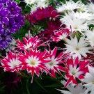 Mixed Twinkle Star Phlox Flowers Phlox drummondii cuspidata - 100 Seeds