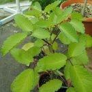 Leaf Cuttings! Medicinal Leaf Of Life Bryophyllum Kalanchoe