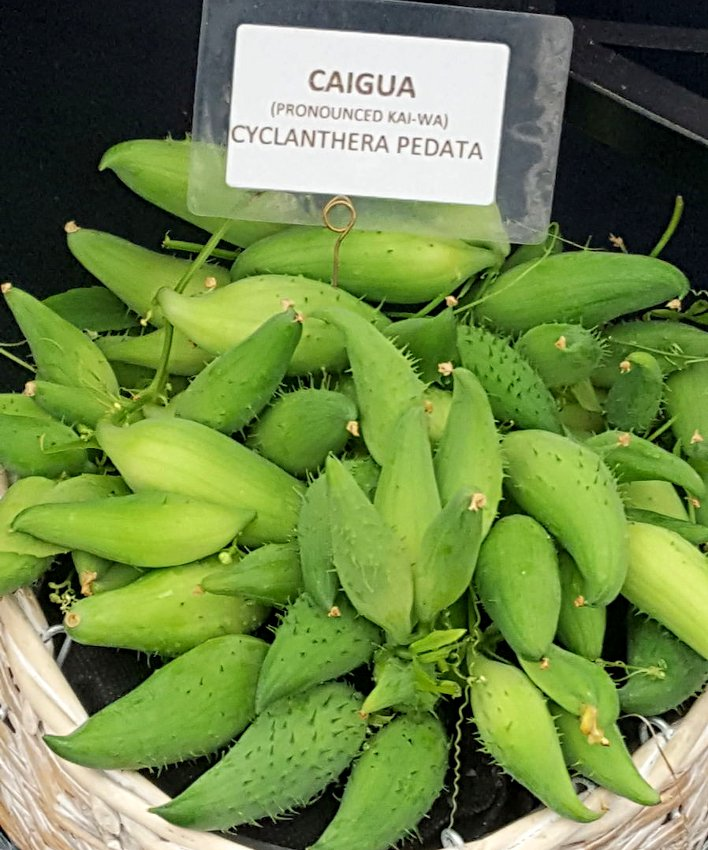 Tropical Achocha Caigua Slipper Gourd Cyclanthera � 10 Seeds