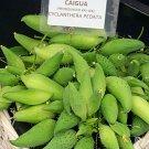 Tropical Achocha Caigua Slipper Gourd Cyclanthera – 10 Seeds
