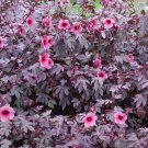 Hardy Cranberry Hibiscus Pink Hibiscus acetosella - 7 Seeds