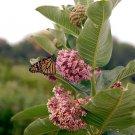 Bulk Native Common Butterfly Milkweed Asclepias Syriaca - 250 Seeds