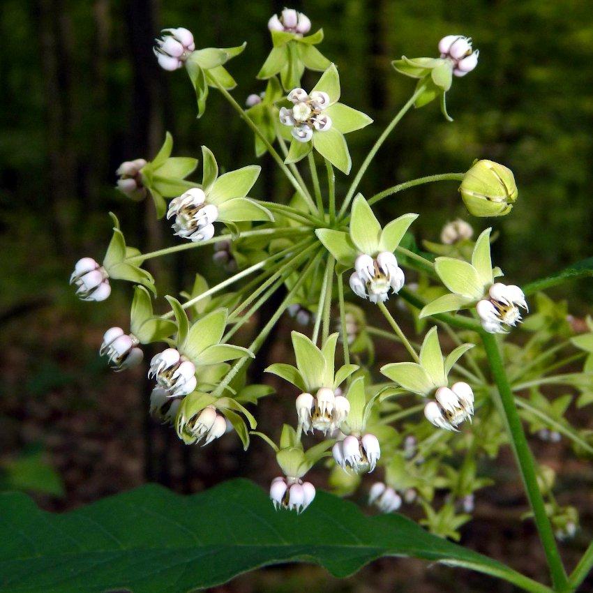 Native White Woodland Poke Milkweed Shade Butterfly Asclepias Exaltata  - 12 Seeds