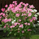 Rose Mallow Lavatera trimestris - 100 Seeds