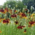 Mexican Hat Thimbleflower Ratibida columnifera - 200 Seeds