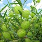 Balloon Milkweed Family Jewels Gomphocarpus physocarpus - 20 Seeds