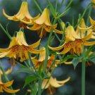 Wild Canada Lily Lilium canadense - 10 Seeds