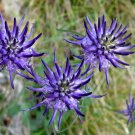 Wild Horned Rampion Phyteuma scheuchzeri  - 30 Seeds