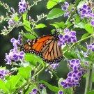 Purple Duranta Sky Flower Duranta repens - 15 Seeds