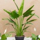 Travelers Fan Palm Ravenala madagascariensis - 8 Seeds