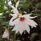 Rare Weeping Tree Dahlia Dahlia campanulata - 5 Seeds